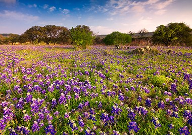Bluebonnets field