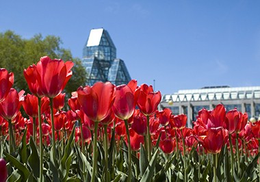 Tulips and the National Gallery of Canada