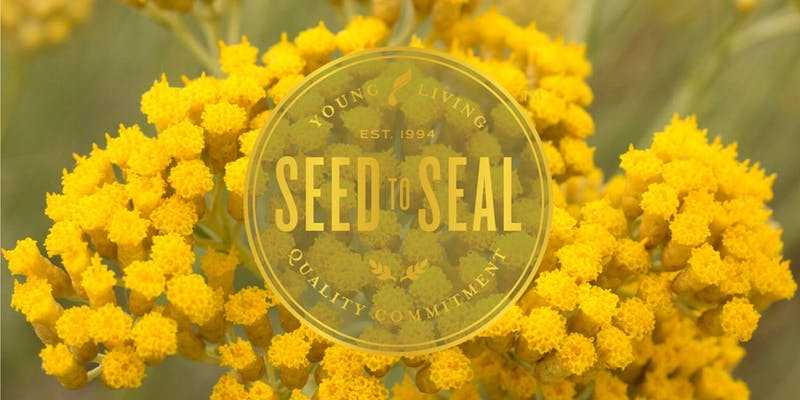 Helichrysum Seed to Seal Experience