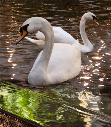Our Royal Swans