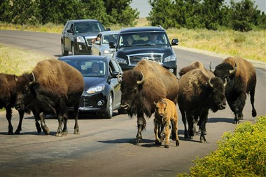 Free-Roaming Buffalo on the Wildlife Loop Road