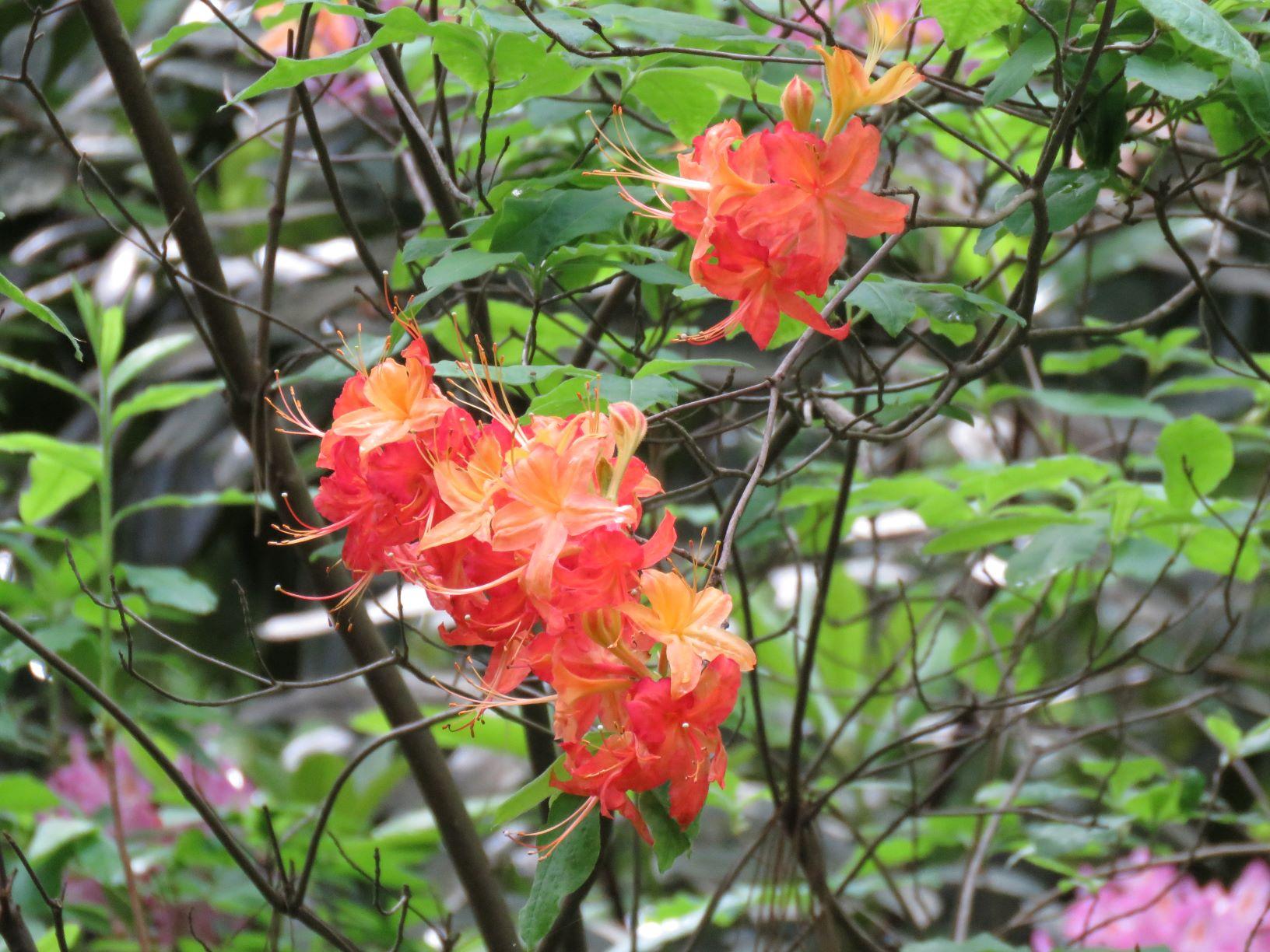 lannon flame azalea blomquist 5-20-16