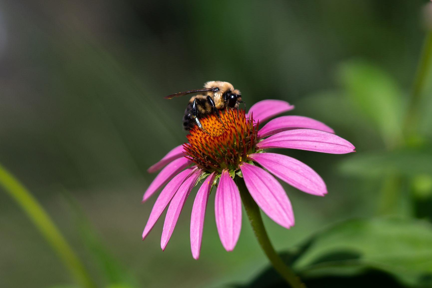 echinacea bumblebee bombus Burke DG-03612