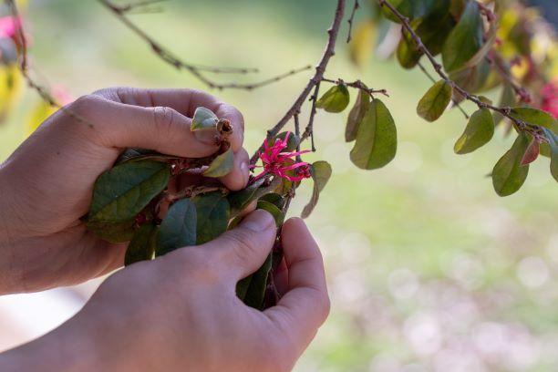 hg hands  rose circle loropetalum chinense rubrum