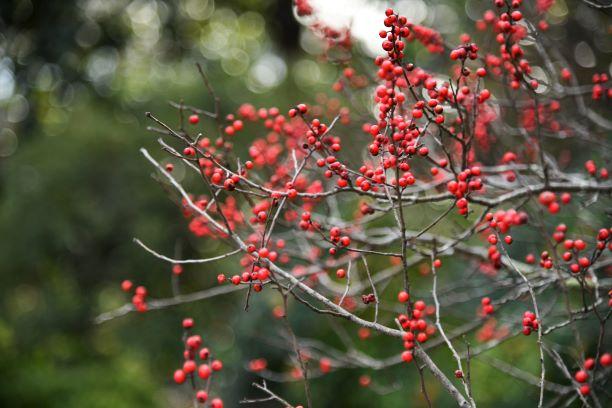 Hanley_Historic Gardens_Terrace_Winterberry_1-1-20