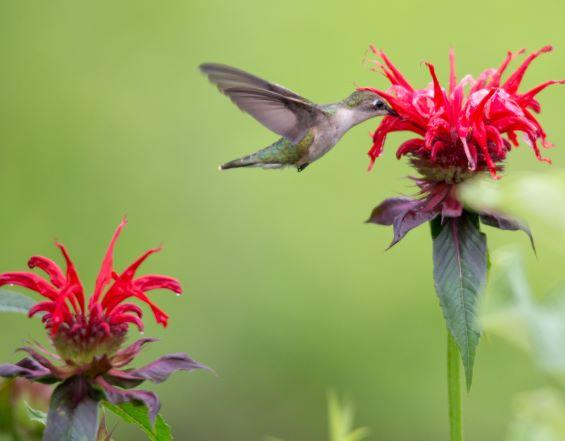 dg hummingbird monarda didyma SR hummingbird-2439_