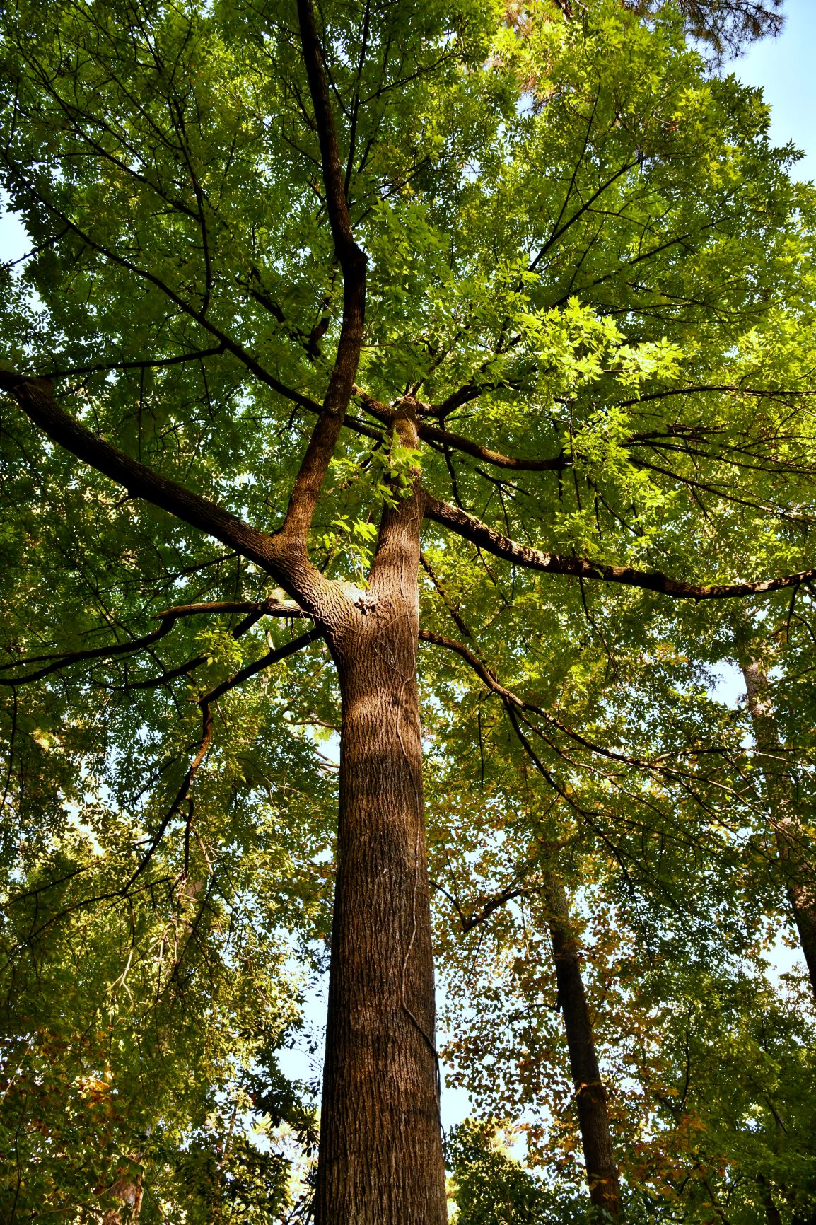 Hanley_Asiatic_tree canopy vertical_10-19-20 small