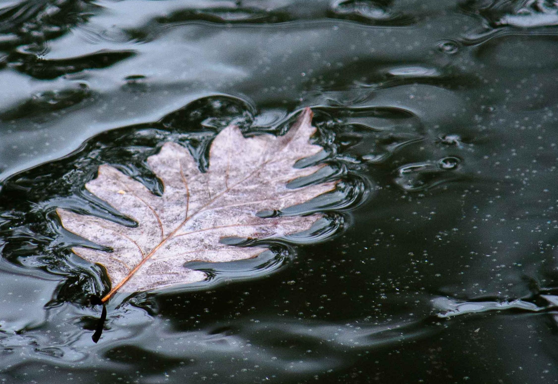 aa pond oak leaf ice water CLB DSC_3927 Bodine