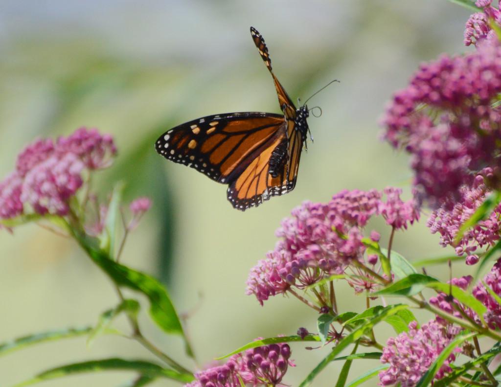 butterfly springfield