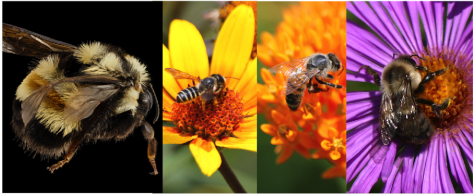 OSU Pollinator Summit: Our Threatened Bees