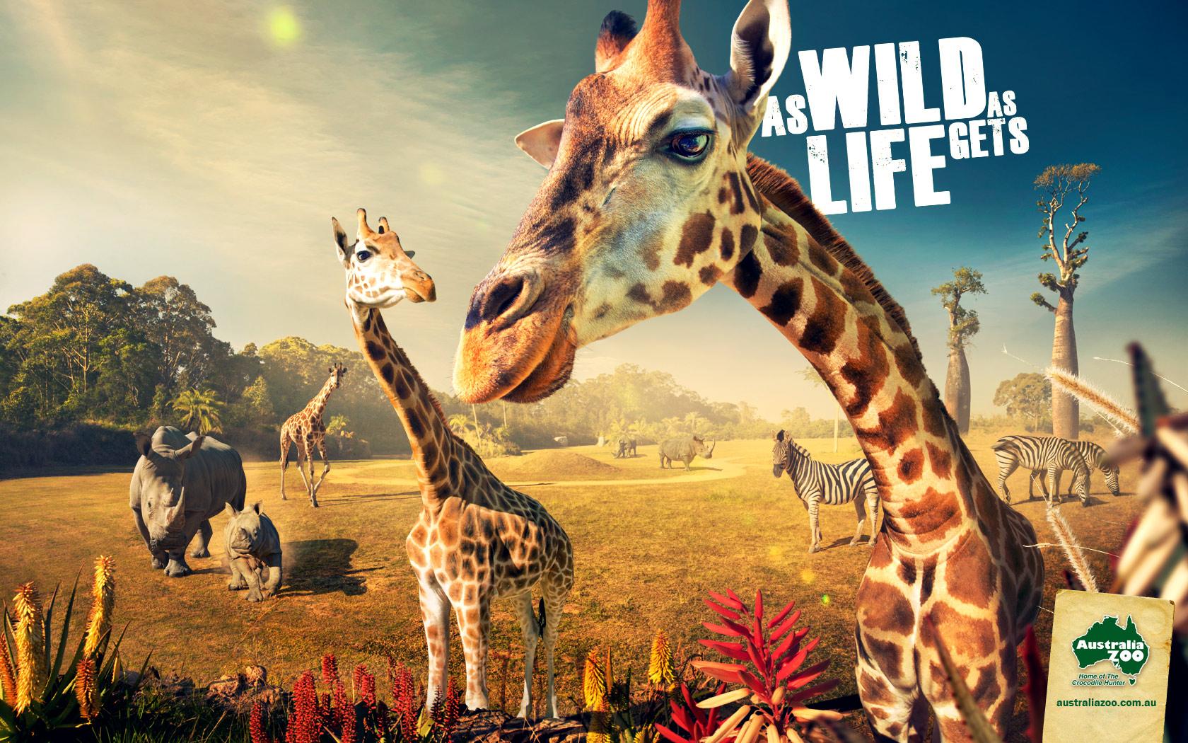Aus-Zoo-Giraffe