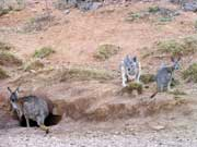 Flinders-3-051-web-3-yellow-footed-rock-wallabies