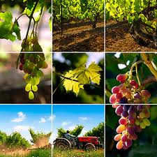 VINES MULTI PICTIRE