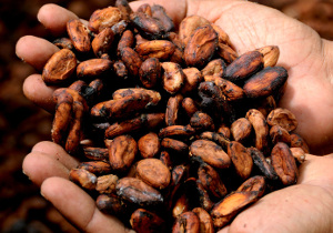 Cocoa beans 300x210