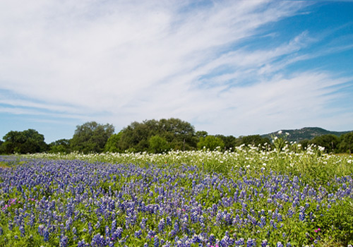 Bluebonnets in Willow City Loop