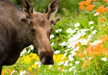 Flower Moose