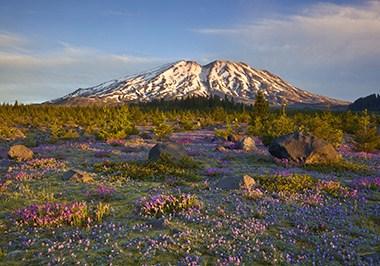 Mt. St. Helens Wildflowers
