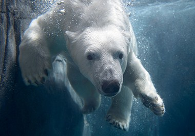 Polar Bear Kali - 3