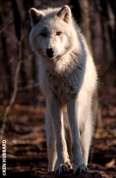 Hubbard_Ken-wolf