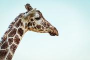 giraffe-amelia