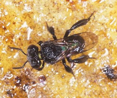 Native bee