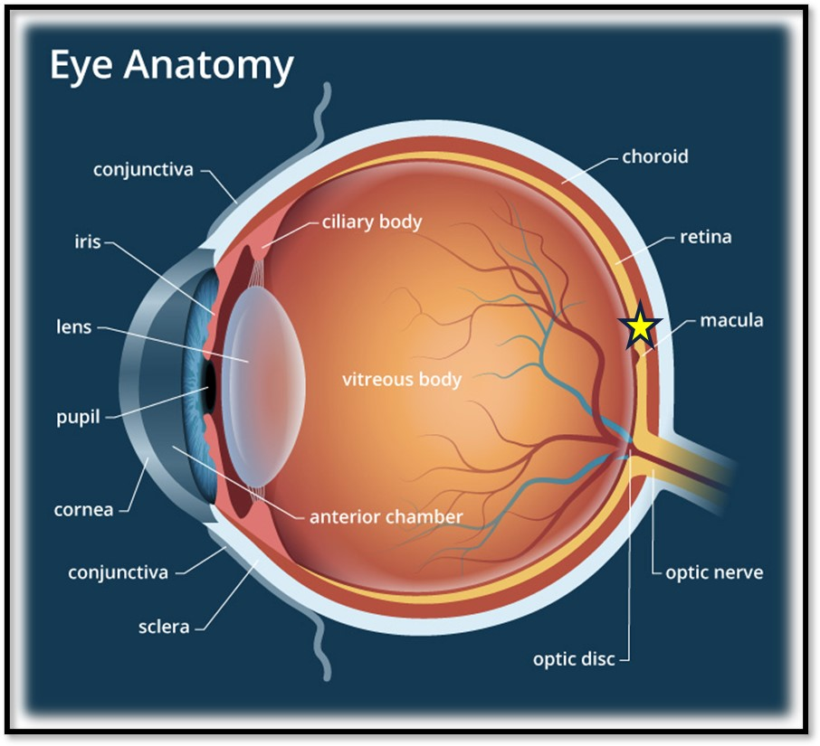 Anatomy of Eye Pic #1 for Fy-Eye