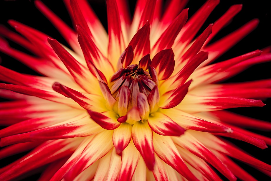 Close up of a large deep red flower