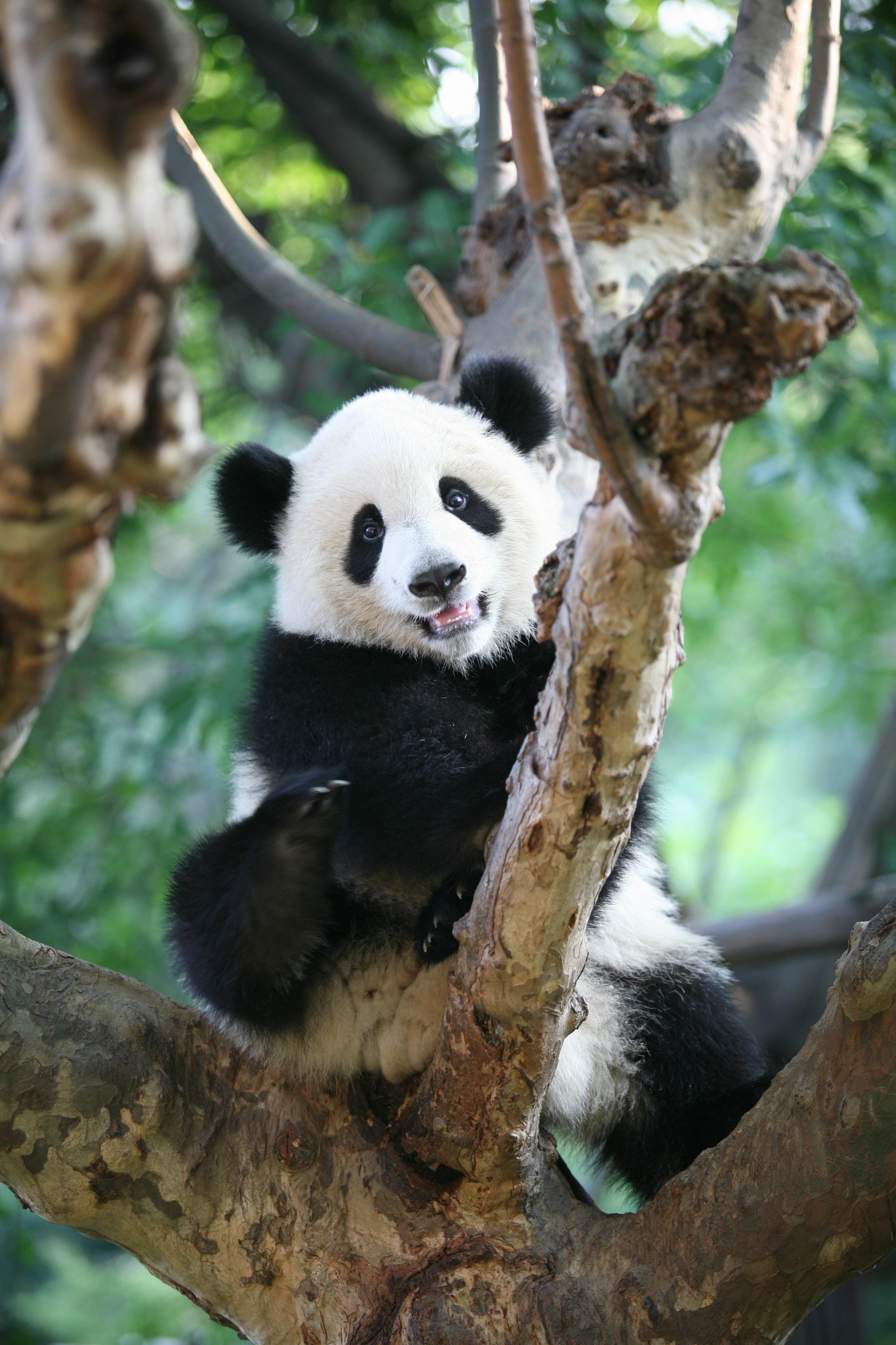 """爬树--大熊猫被誉为""""活化石""""和""""中国国宝"""",世界自然基金会的形象大使。"""