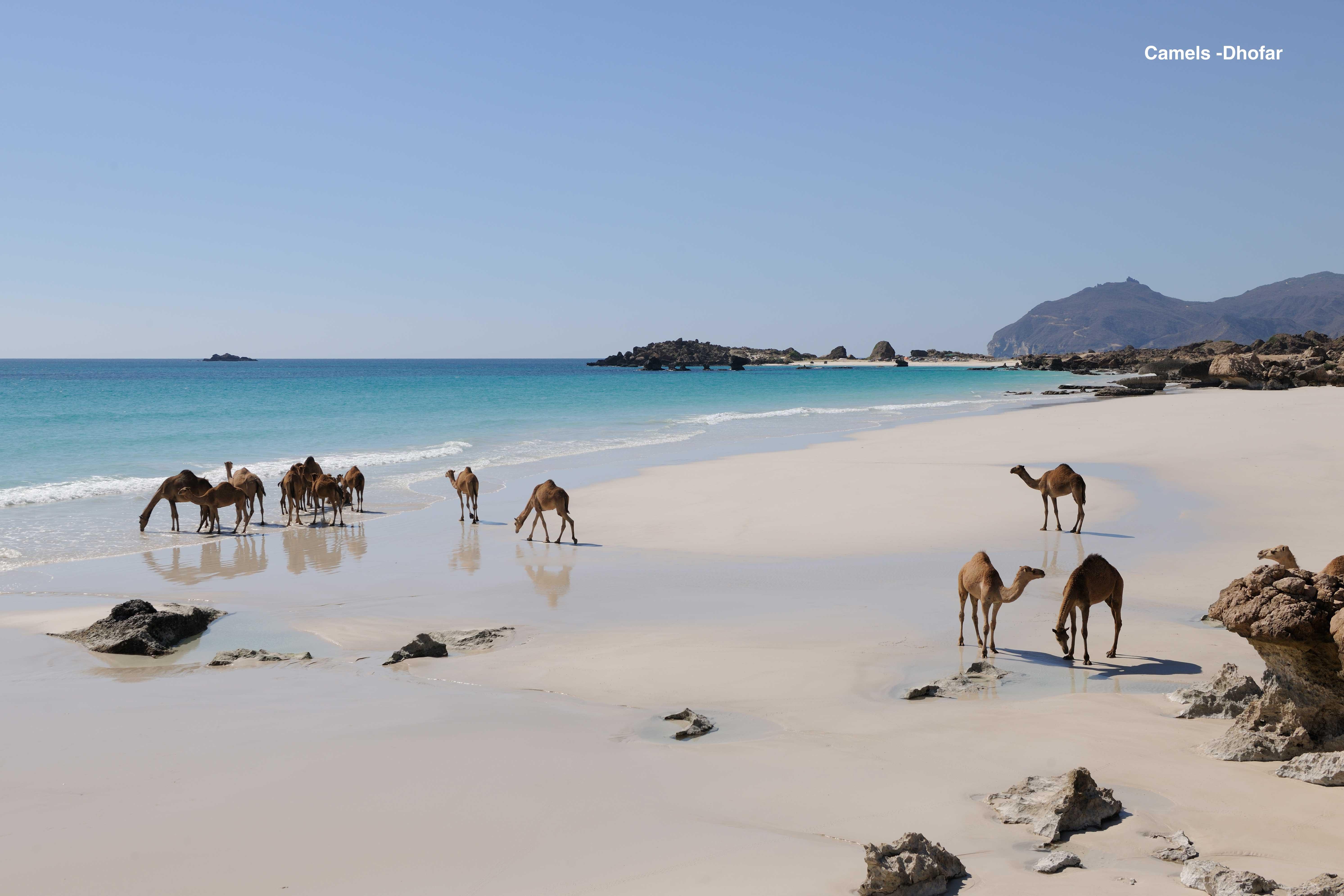 Camels--Dhofar