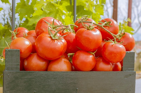 Ripe tomatoes on the vine in a wooden crate with tree showing through window