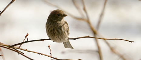 Winter is for the Birds cv