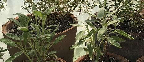 Herb Image - Cvent