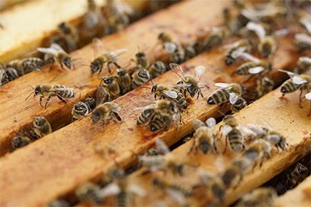 Beekeeping Winter Series - Organic Beekeeping Management 450x300