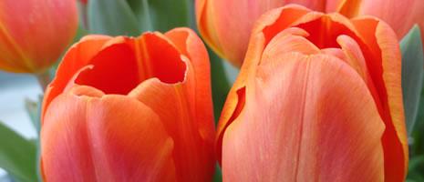 Gardeners Delight (PSU Amanda Valko)
