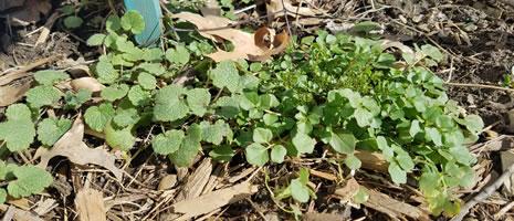 Cool Season Weeds (PSU - Benner R)