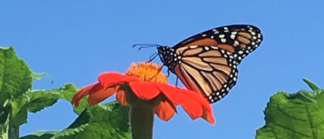 Butterfly On Tithonia (PSU Patricia A. Coolsen)