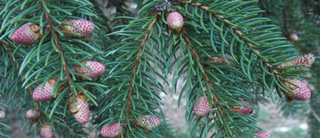 Conifer ID Home Gardeners