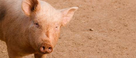 Swine (PSU).fw