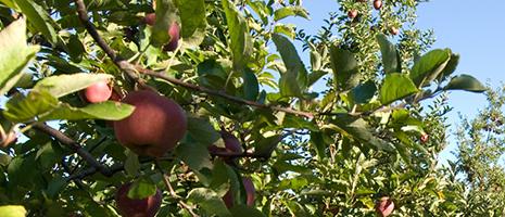Apple-orchard (PSU)