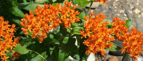 Butterfly Weed (PSU - Carol Kagan)